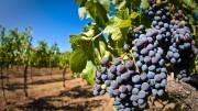 В Северной Осетии высадят 200 га виноградников в следующем году