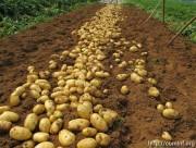 В Дзауском районе высадят картофель