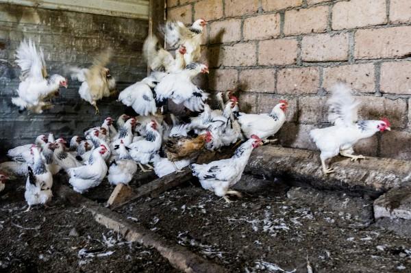 """Бизнес на продажу: """"пернатый"""" продукт и производство молочки в Южной Осетии"""
